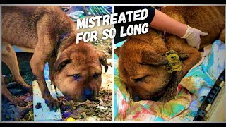 Rescue Dog's Head Swollen Several Times Normal Size Due To Collar