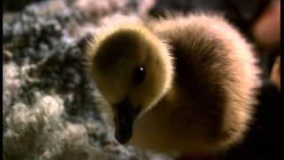 Fly Away Home (1996) Trailer