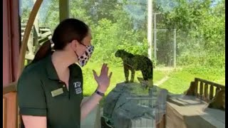 Zoo to You: Spotted! All about jaguars