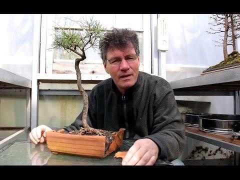 Scots Pine Bonsai, Literati Style, April 2017