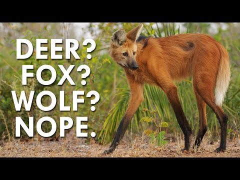 See the Majestic Maned Wolf in Action