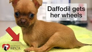Daffodil's Wheels: the Story of a Puppy born without Front Legs