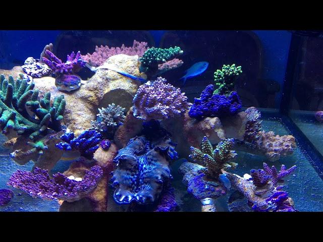 SPS Shallow Reef Tank 4 weeks after restart