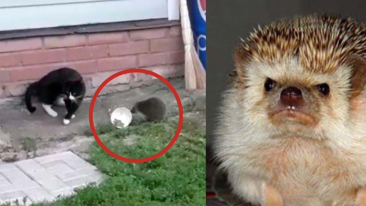 Наглый ежик отобрал еду у бедной кошки фото