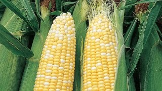 Growing Fresh Summer Corn
