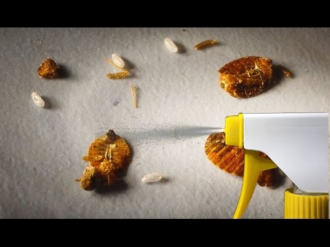 Video The Strongest Natural Home Remedy to Get Rid of Bedbugs