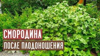 Смородина после сбора урожая 💥 СДЕЛАЙТЕ ЭТО ОБЯЗАТЕЛЬНО / Садовый гид