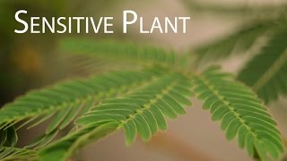 Sensitive Plant (Mimosa pudica) Leaves Folding up in Response to Touch