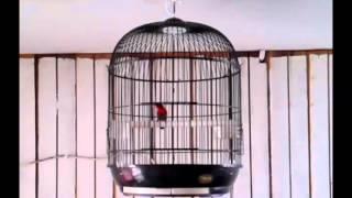 Gambar cover Burung Madu Sepah Raja Gacor