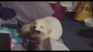 Cute Arctic White Fox Laughing Vine