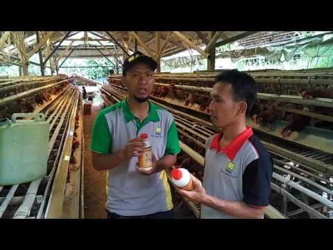 Video Cara beternak ayam petelur untuk pemula 085702589630