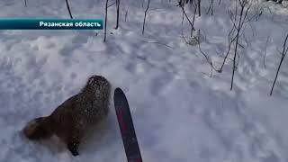 В Рязанской области на лыжника напал енот