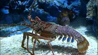 Japanese spiny lobster..イセエビ。