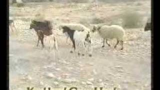preview picture of video 'Kookherd Goat Herd گله بز در کوخرد'
