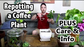 Transplanting and Caring for a Coffee Plant (Coffea arabica)