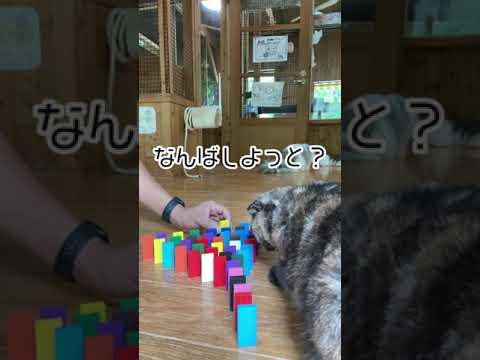 ドミノを作る飼育員 vs かまってほしい猫。Zookeeper VS Cat #shorts