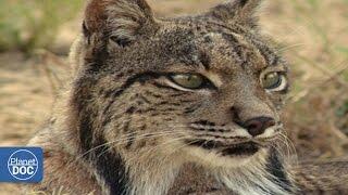 Iberian Lynx | Full Documentary