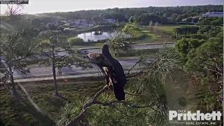 SWFL Eagles ~ SCARY MOMENT for E13!! ~ Missed Landing on Front Dead Pine Tree ~ 3/14/19