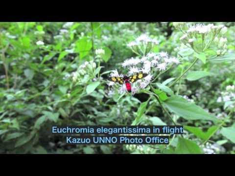 美しいカノコガの飛翔 Euchromia elegantissima