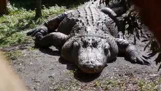 Gatorland In Kissimmee, Florida - The Alligator Capital Of The World