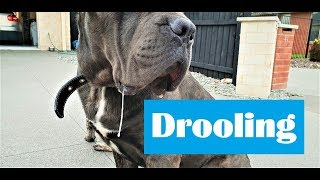 All About Cane Corso Mastiff Drooling