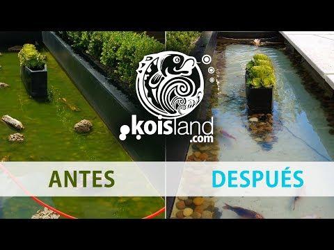 Solución agua verde en estanques y acuarios - koisland