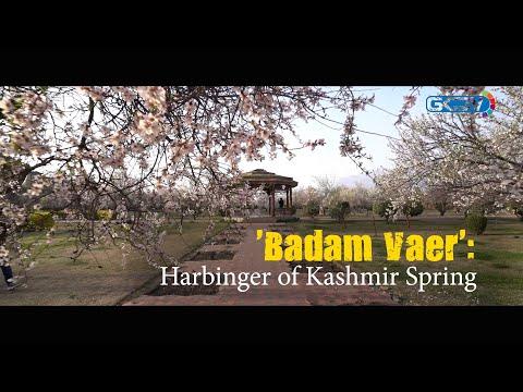 'Badam Vaer': Harbinger of Kashmir Spring