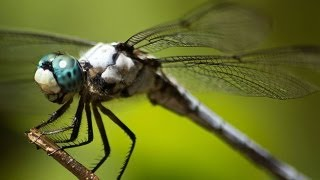 Epic Footage Of Dragonflies Hunting