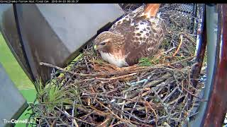 Arthur Delivers Chipmunk And Nestles Over Eggs – April 3, 2018