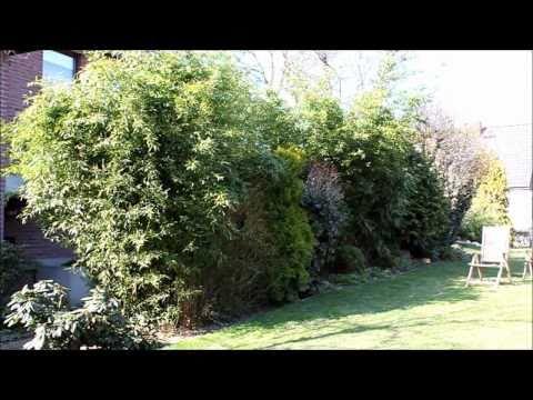 Bambus Bambuseae immergrüner Sichtschutz - NewWonder555