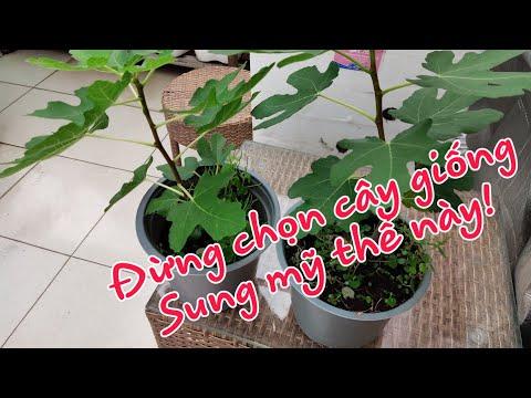 7kg | CÁCH CHỌN GIỐNG SUNG MỸ ĐỂ KHÔNG PHẢI HỐI HẬN |cây sung mỹ, trái sung mỹ
