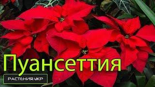 Пуансеттия: уход в домашних условиях