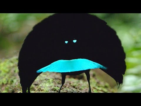 This New Species of Bird Can Absorb 99.95% of Light