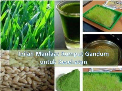 Video Inilah Manfaat Rumput Gandum untuk Kesehatan