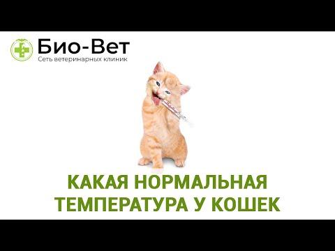 Температура тела кошки. Какая нормальная температура у кошек