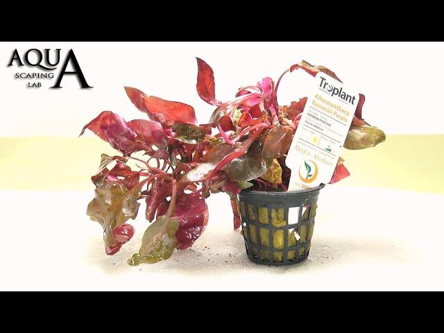 Aquascaping Lab - ALTERNANTHERA Aquatic Plant technical description and management (all varieties)