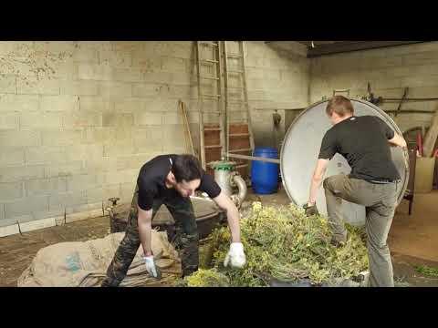 VIDEO. L'huile essentielle d'immortelle, trésor de l'aromathérapie corse