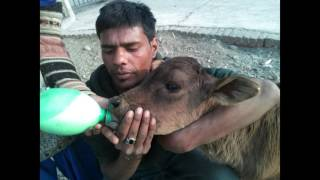 TAKING CARE OF INDIA'S HOLY COW AND BULLS