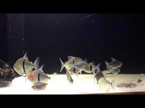 Vittatus African Tiger fishes