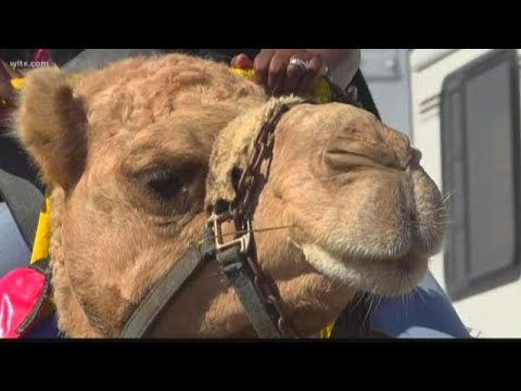 Camels take fairgoers on a ride at the SC State Fair