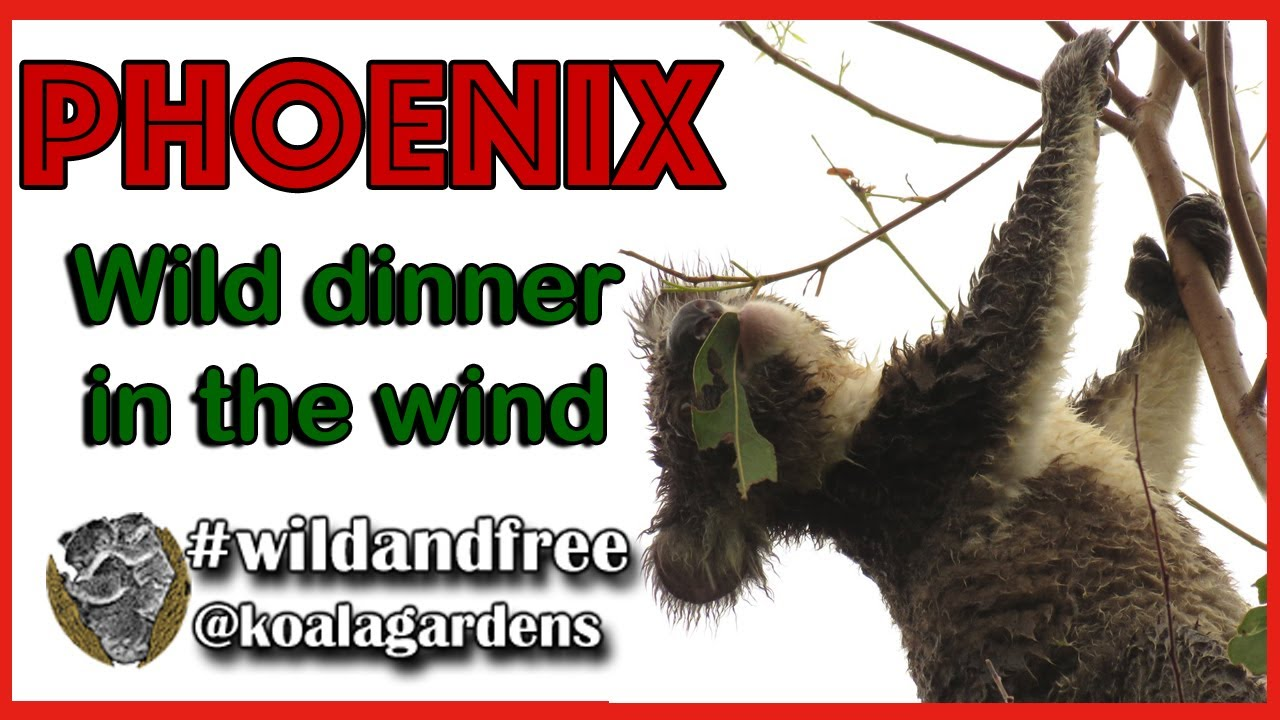 Phoenix dining in the wind