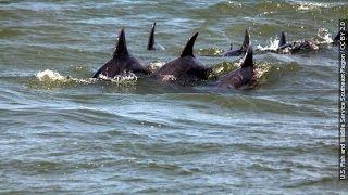 Deepwater Horizon Oil Spill - Impact on Dolphins