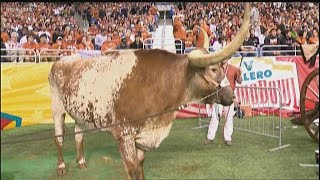 Raising Bevo: Life As The UT Mascots Family | KVUE