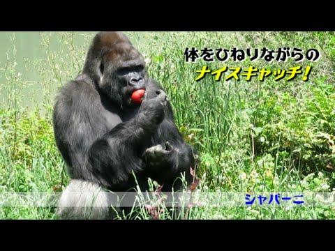 【東山動植物園公式】スローフィーディング:ニシゴリラ