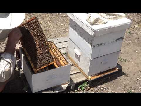 пчеловодство.осмотр семей через 6 дней и установка магазина 19/ 05 /2017