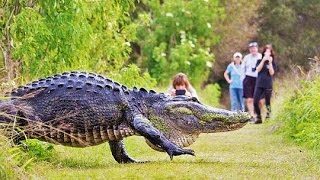 HUGE Gator Spotted in Florida