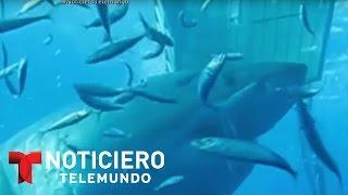 Graban en México al tiburón blanco más grande que se ha registrado | Noticiero | Noticias Telemundo
