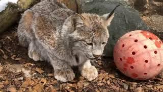 Paws & Claws Week! - Canada Lynx