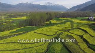 Kashmir agriculture aerial view: Srinagar rapeseed and mustard oil fields glow green