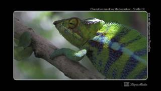 preview picture of video 'Pantherchamäleon aus Ankify Chamäleonmekka Madagaskar Spezial'
